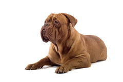 French mastiff dog Stock Image