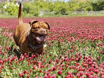 French mastiff in a field with a clover. Red flowers stock photography