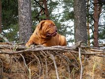 French mastiff in the forest. French mastiff resting in the forest Stock Photo