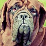 French mastiff Royalty Free Stock Photo