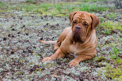 French mastiff lying in the forest Royalty Free Stock Images