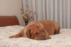 French Mastiff is lying on her master's bed Stock Image