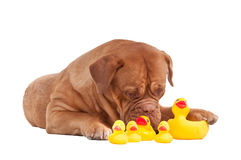 French mastiff playing with plastic duck toys Royalty Free Stock Photography