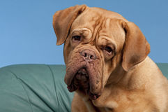 French Mastiff portrait Royalty Free Stock Photos