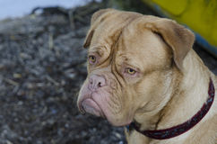 French Mastiff portrait, close up Stock Photos