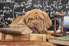 French Mastiff puppy with books Stock Photos