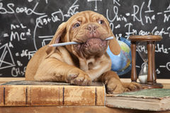 French Mastiff puppy chewing a pencil Stock Photo