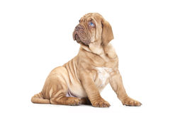French Mastiff puppy Royalty Free Stock Image