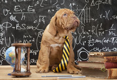 French Mastiff puppy in front of blackboard Stock Photo