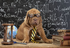 French Mastiff puppy in glasses with books Stock Image