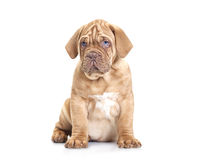 French Mastiff puppy Royalty Free Stock Images