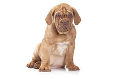 French Mastiff puppy  over white background Royalty Free Stock Image