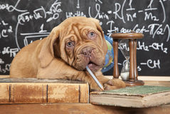 French Mastiff puppy and pile of books Royalty Free Stock Image