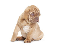 French Mastiff puppy, 9 weeks old Royalty Free Stock Photos