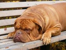 French mastiff resting on the garden bench. Sad french mastiff lying on the garden bench in park Stock Image