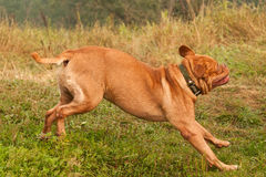 French Mastiff running quickly to his master Stock Photography