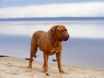 French mastiff standing at the lake coast. Chestnut french mastiff standing at the lake coast Stock Photos