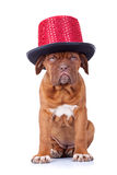 French mastiff wearing a red show hat Stock Photos