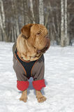 French Mastiff wearing winter coat and harness Royalty Free Stock Images