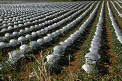 French Melon Rows Stock Photo