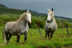French Mountain Horses Stock Photos