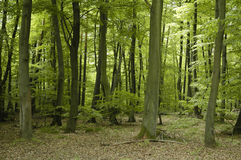 French oak and beech forest trees Stock Image