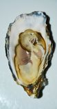 French oyster, isolated stock photos