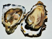 French oysters stock image