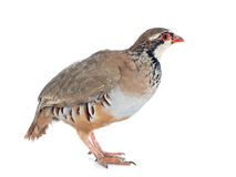 French Partridge, Alectoris rufa Stock Image