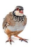 French Partridge, Alectoris rufa Royalty Free Stock Photos