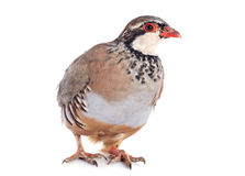 French Partridge, Alectoris rufa Royalty Free Stock Images