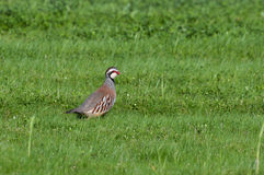 French partridge Royalty Free Stock Images