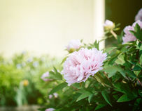 French peonies flowers in garden Stock Photos