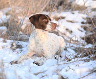 French Pointing Dog lying in the snow Royalty Free Stock Image