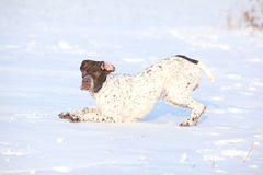 French Pointing Dog playing in winter Stock Photo