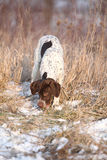 French Pointing Dog playing in winter Stock Photography