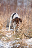 French Pointing Dog playing in winter Royalty Free Stock Image