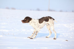 French Pointing Dog standing in the snow Stock Photo