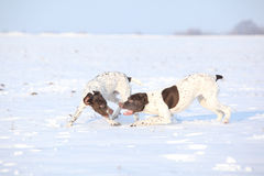 French Pointing Dogs playing in snow Royalty Free Stock Photo