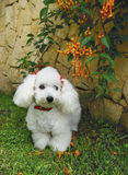 French poodle 2 Stock Photo