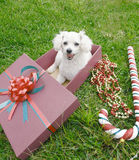 French poodle Royalty Free Stock Images