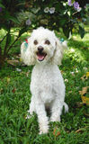 French poodle 4 Royalty Free Stock Photos