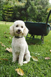 French poodle 4 Royalty Free Stock Images