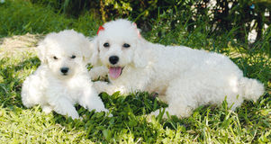 Free French Poodle Royalty Free Stock Image - 5209106