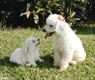 French poodle Royalty Free Stock Photography