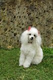 French poodle 6 Stock Photography