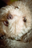 French poodle face. A face for a white french poodle dog Royalty Free Stock Photo
