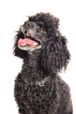 French poodle looking up Stock Image