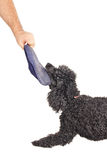 French poodle playing tug of war. With a stolen slipper Stock Images