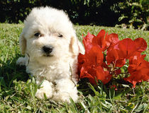 French poodle puppy Royalty Free Stock Image